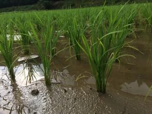 稲さんは順調に育っています‼︎