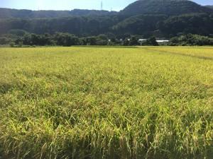 今年の稲刈り始まりました‼︎